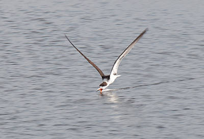 Photograph - Black Skimmer Feeding by John Black