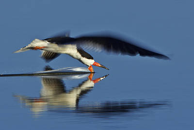 Black Skimmer  Mg_3882 Art Print
