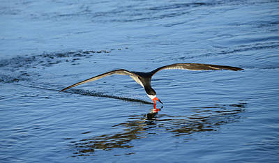 Photograph - Black Skimmer by Patricia Dennis