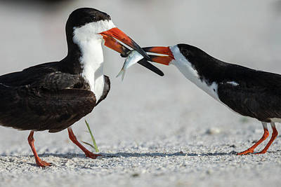 Black Skimmer Protecting Minnow Print by Maresa Pryor