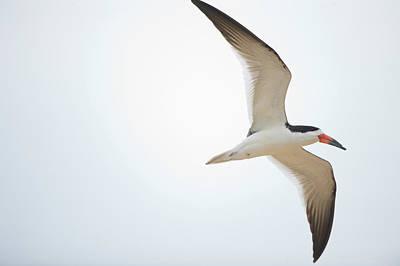 Black Skimmers Photograph - Black Skimmer Rynchops Niger In Flight by Animal Images