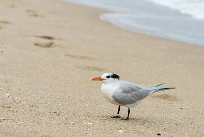 Black Skimmers Photograph - Black Skimmer Rynchops Niger On Beach by Panoramic Images