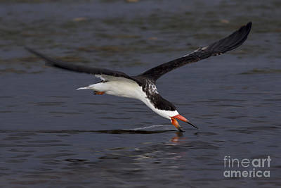Photograph - Black Skimmer Skimming by Meg Rousher