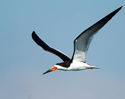 Photograph - Black Skimmer by Steve Kaye