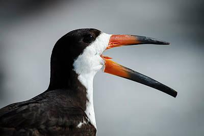 Black Skimmers Photograph - Black Skimmer Territorial Behavior by Maresa Pryor