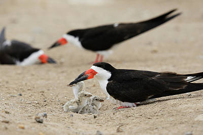 Black Skimmers Photograph - Black Skimmer With Young, Port Isabel by Rolf Nussbaumer