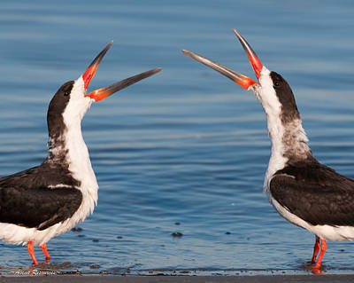 Photograph - Black Skimmers by Avian Resources