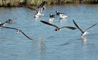 Black Skimmers Photograph - Black Skimmers Feeding In Flight by Bob Gibbons/science Photo Library