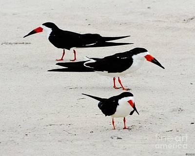 Photograph - Black Skimmers  by Lizi Beard-Ward