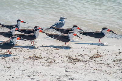 Graduation Sayings - Black Skimmers by Ray Summers Photography