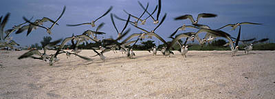 Black Skimmers Photograph - Black Skimmers Rynchops Niger Flying by Animal Images