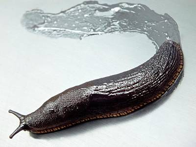 Black Slug With Slime Trail Art Print