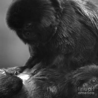 Photograph - Black Spider Monkey Grooming Bw by Paul Davenport