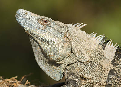 Photograph - Black Spiny-tailed Iguana by Dan Suzio