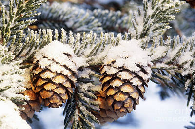 Photograph - Black Spruce Cones Covered With Rime Ice by Michael Giannechini
