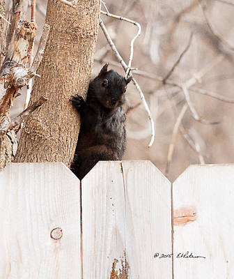 Photograph - Black Squirrel Checking by Edward Peterson