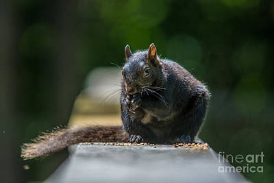Photograph - Black Squirrel by Cheryl Baxter