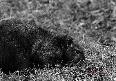 Photograph - Black Squirrel Hunting by Edward Peterson