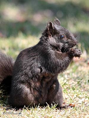 Photograph - Black Squirrel by J McCombie