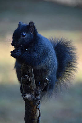 Photograph - Black Squirrel by Mike Martin