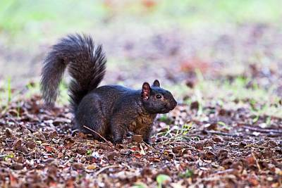 Eastern Grey Squirrel Photograph - Black Squirrel On The Ground by John Devries