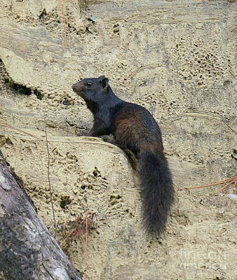 Photograph - Black Squirrel by Rachel Munoz Striggow