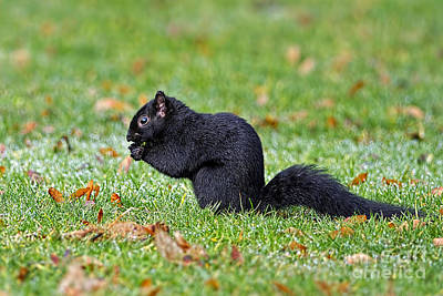 Photograph - Black Squirrel by Sharon Talson