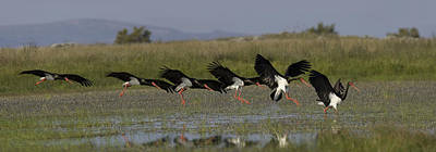 Photograph - Black Stork Landing. by Tony Mills