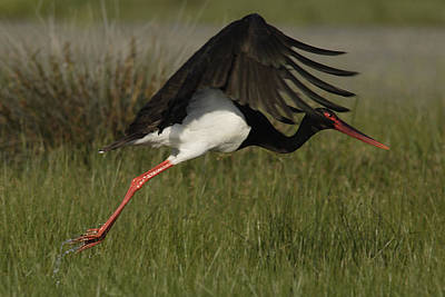 Photograph - Black Stork Taking Off. by Tony Mills