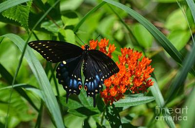 Photograph - Black Swallow Tail On Beautiful Orange Wildlflower by Peggy Franz