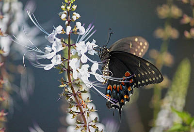 Blue Swallowtail Photograph - Black Swallowtail Among The Cats Whiskers II by Suzanne Gaff