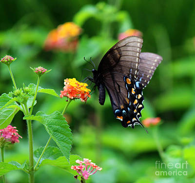 Photograph - Black Swallowtail Among The Flowers by Jackie Farnsworth
