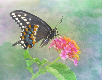 Photograph - Black Swallowtail And Lantana by David and Carol Kelly
