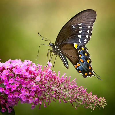 Photograph - Black Swallowtail by Bill Wakeley