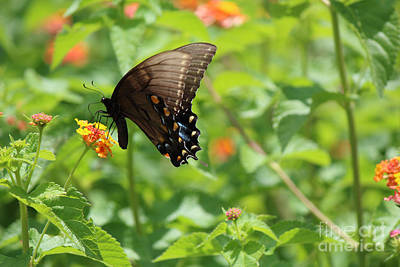 Photograph - Black Swallowtail Butterfly by Jackie Farnsworth