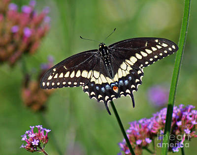 Black Swallowtail Butterfly  Art Print by Karen Adams