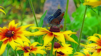 Photograph - Black Swallowtail Butterfly With Gloriosa Daisies by Kay Novy