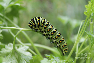 Photograph - Black Swallowtail Caterpillar by Nina Silver