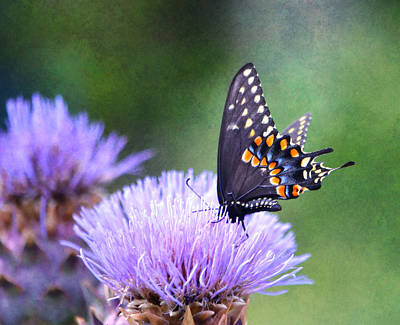 Photograph - Black Swallowtail by Deena Stoddard