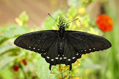 Photograph - Black Swallowtail by Diane Wood