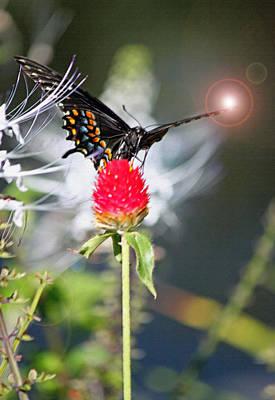 Blue Swallowtail Digital Art - Black Swallowtail Enhanced by Suzanne Gaff