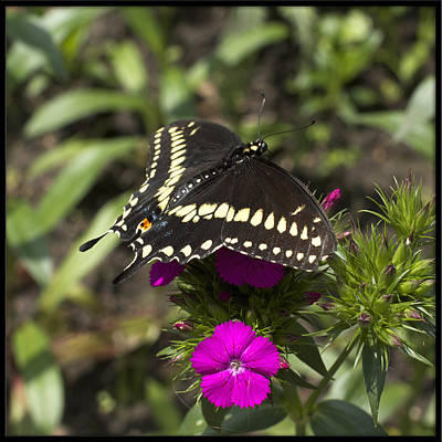 Photograph - Black Swallowtail by Heidi Hermes
