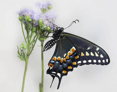 Photograph - Black Swallowtail II by David and Carol Kelly