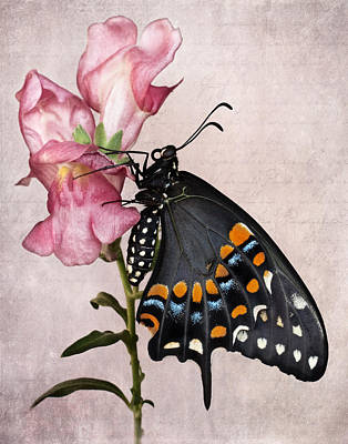 Photograph - Black Swallowtail IIi by David and Carol Kelly