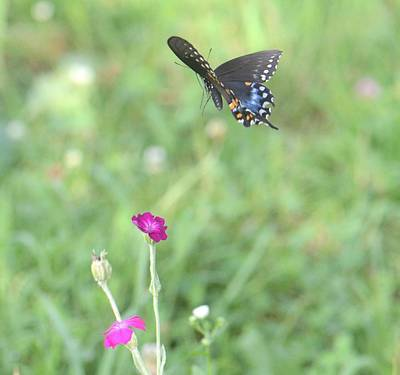 Photograph - Black Swallowtail In Flight by Amy Porter