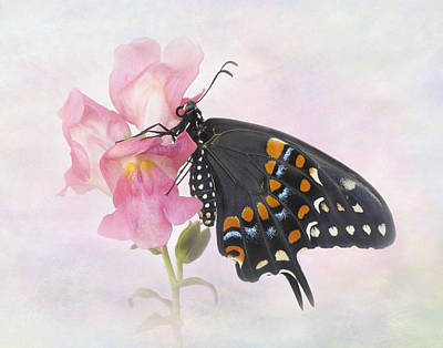 Photograph - Black Swallowtail Iv by David and Carol Kelly