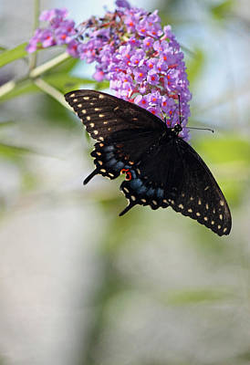 Blue Swallowtail Photograph - Black Swallowtail Iv by Suzanne Gaff