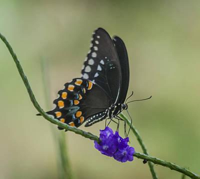 Photograph - Black Swallowtail by Jane Luxton