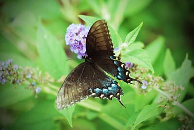 Photograph - Black Swallowtail by Michael Porchik