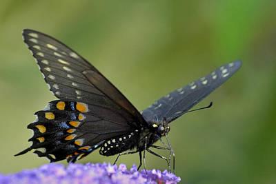 Photograph - Black Swallowtail On A Buddleia by Bradford Martin